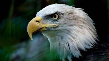 gesetz von 1973: jetzt geht's dem us-wappenvogel an den kragen: trump-regierung weicht den artenschutz auf