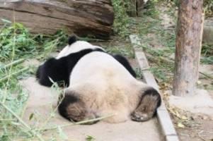Tiere: Berliner Zoo: Pandabärin erwartet wahrscheinlich Nachwuchs