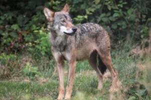 tiere: albrecht wehrt sich gegen kritik am wolfsmanagement