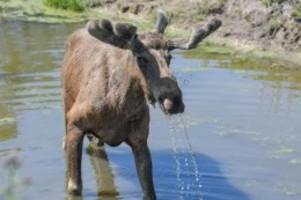 Tiere: Elch durchstreift Vorpommern