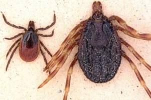 tiere: tropische riesenzecke infiziert mann mit fleckfieber