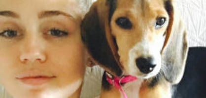 mileys und liams zoo: wird beagle barbie nun zum scheidungshund?