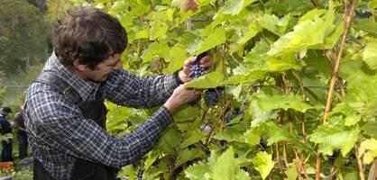 Weinbauern sind so gut wie nie arbeitslos