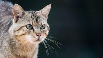 wildkatzen: scheue waldbewohner brauchen grünbrücken
