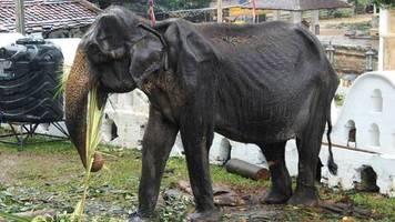festival in sri lanka: abgemagerte elefantin musste an festumzügen teilnehmen – tierschützer entsetzt
