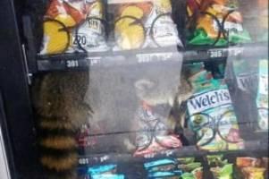 kurios: tierischer einbrecher – waschbär steckt in snackautomat fest