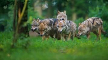 Wolfsschäden in Deutschland übersteigen die Millionengrenze