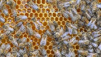 Schlechtes Wetter: Honigernte in Rheinland-Pfalz bricht ein