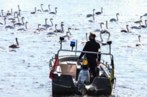 hitzewelle : algen in der alster: neun schwäne sind bereits gestorben