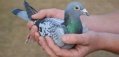 Das ist die teuerste Taube der Welt