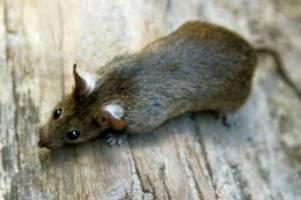 neurologie: studie: ratten lieben versteckspiel und wechseln auch rollen