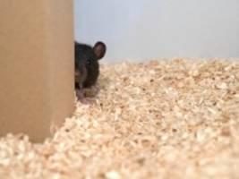Verhaltensbiologie: Wenn Ratten Verstecken spielen