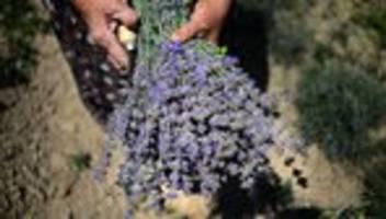 Mottenbekämpfung: Wirkt Lavendel gegen Motten?