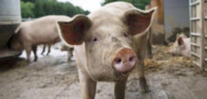 initiative «gegen massentierhaltung»: schweizer schwein - glücklich oder arme sau?
