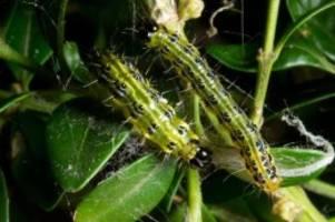 Umwelt: Buchsbaum-Schädling befällt bis zu 80 Prozent der Pflanzen