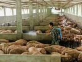 die schweinepest könnte china den 70. geburtstag verderben