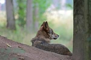 Tiere: Opfer von Wolfsrissen werden einfacher entschädigt