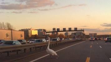 Polizei lotst verirrten Schwan von der Autobahn