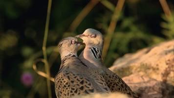 Turteltaube zum Vogel des Jahres 2020 gewählt