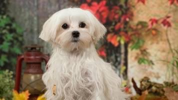 Maulkorbpflicht: Auch kleine Hunde können bissig und gefährlich sein