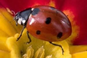 Tiere: Marienkäfer sammeln sich auf der Suche nach Winterquartieren