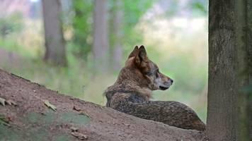erstes wolfsrudel in der dresdner heide bestätigt