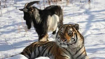 mutiger timur: trauer in russland: der mutige ziegenbock mit dem tiger-kumpel ist tot