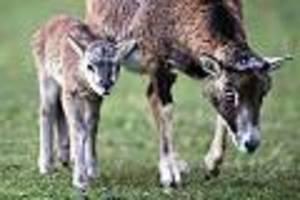 Besitzer hatte geklagt - Mufflon-Herde lebt seit 50 Jahren in Bielefelder Wald - nun droht der Abschuss
