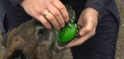 Besonders Bissfest: Polizeihund Macho hat eine Geheimwaffe