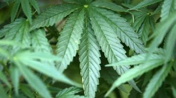 cdu: schüler union fordert legalisierung von cannabis