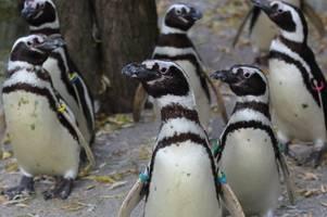 Warum die Pinguine im Augsburger Zoo mehr Land als Wasser bekommen