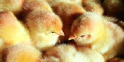 ziel der geflügelwirtschaft: kükentöten ohne ende