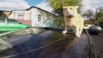 Video: Das Katzentaxi: Kater Tea ist der Boss im Auto