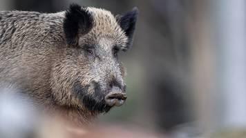 Brandenburg gut vorbereitet: Schweinepest in polnischer Grenzregion