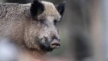 Hochinfektiöser Virus: Afrikanische Schweinepest kommt Deutschland immer näher