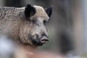 Afrikanische Schweinepest kommt Deutschland immer näher