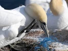 mehr fälle als vermutet: seevögel sterben auf helgoland durch plastik