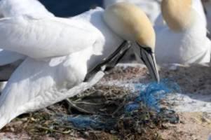 basstölpel und trottellummen: helgoland: mehr tiere als vermutet sterben an plastik
