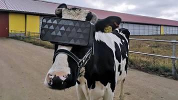 Matrix für Kühe: Virtual-Reality: Warum Kühe in Russland jetzt VR-Brillen tragen