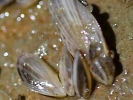 massive verbreitung im bodensee: quagga-muschel verstopft wasserversorgung