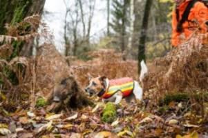 tiere: noch 42 kilometer: afrikanische schweinepest kommt näher