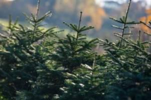 Schleswig-Holstein: Diebe stehlen 111 Weihnachtsbäume aus Baumarkt