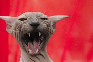 Niederländer fordern Leinenpflicht für Hauskatzen