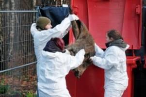 tierseuche: schweinepest: wie sich deutschland für den ernstfall rüstet