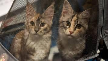 niederlanden: juristen fordern leinenpflicht für katzen – auch in deutschland möglich