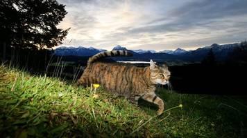 streunen untersagt: juristen fordern ausgehverbot für katzen