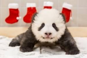 Zoo Berlin: Im Video: So süß feiern die beiden Panda-Babys Nikolaus