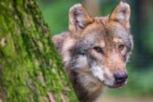 wissenschaft: mehr wolfsangriffe auf nutztiere