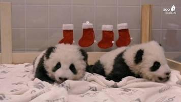 Überraschung im zoo: rote socken am bettchen: berliner panda-zwillinge feiern nikolaus