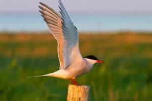 ahrensburg: seevogel des jahres 2020 ist ein besonderes exemplar